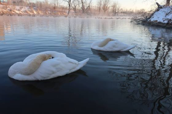 swans1March2019