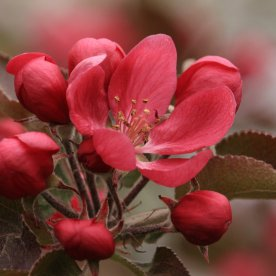 Captain Cootes Red Apple Blossom - Michelle Sharp, May 18, 2019