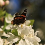 Red Admiral on Apple Blossom - Michelle Sharp, May 21, 2019