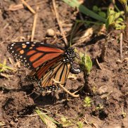 Monarch egg laying on Milkweed - Michelle Sharp, May 26, 2019