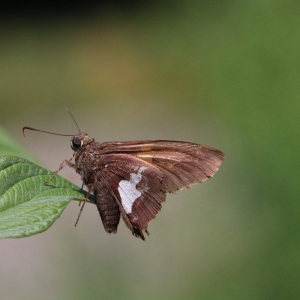 3August2019_Silver-Spotted Skipper